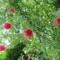 Utcai lugas talajtakaró rózsája