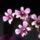 Dendrobium-001_980080_58689_t