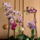 Virágzó orchideáim 2010 novemberben