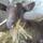Kata,az első kecském