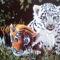 Tigris kölykök