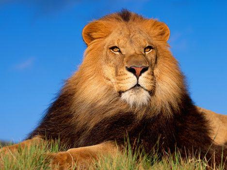 lion_179171_78933_n