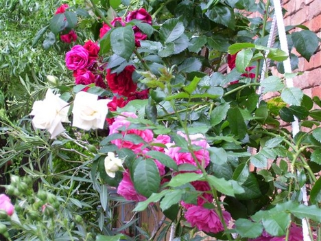 Rózsa lugas