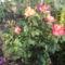 Kertünk virágai 13