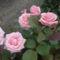 Kertünk virágai 22