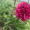 Kertünk virágai 2