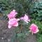 saját bojtásu rózsa