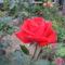 tűzpiros rózsaszál