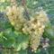 Csemege szőlő2
