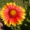 Kokárda virág