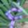 Sáslevelű Irisz