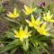 Tulipán Tarda
