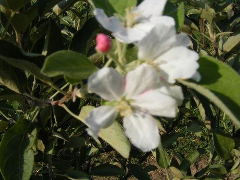 2éves kis alma fánk most virágzik