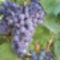 Fénykép 0188 Otelló szőlő