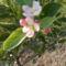 Kis alma fa most virágzik