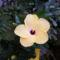 Sárga hibiszkusz