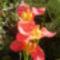 Tigrisvirág / 3 virág egyszerre