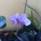 A kis lila