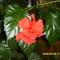 hawaii rózsa
