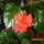 Hawaii_rozsa_112032_97511_t