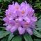 Rododendronok
