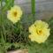 virág 008 Porcsinrózsa