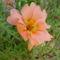 virág 012 Porcsinrózsa