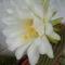 2011.06.26 óriás kaktusz