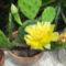 DSCF1569 medvetalp kaktusz