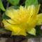 DSCF1570 medvetalp kaktusz
