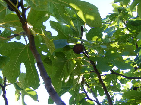 Füge a fa tetejébe