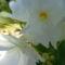 Leander virág közelről