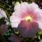 Mályva rózsa