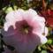 Mályva virág méhecskével