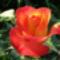 12. Kedvenc rózsám