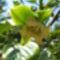 6. Kákiszilva virágzik