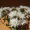Fehér színű virágok 003