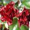 Havai rózsa  2