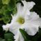 fehér petúnia