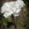 fehér szegfű 1