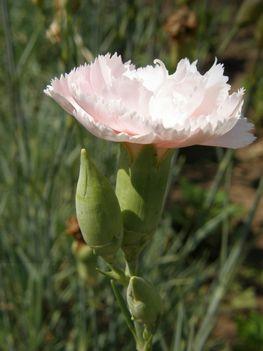 rózsaszín szegfű1