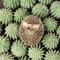 Süni kaktuszon