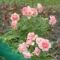 Törpe  Rózsa