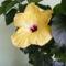 Sárga hibiscus