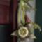 Dög kaktusz