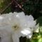 Gumós begonia