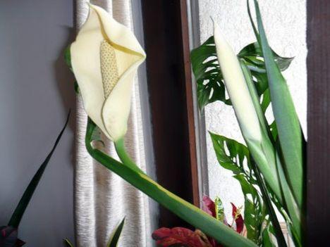 szobanövény 1