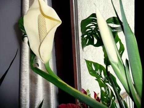 szobanövény 2