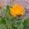 Októberi kis körömvirág