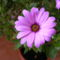Szél virág